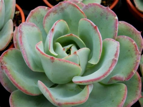 Echeveria 'Atlantis' | World of Succulents