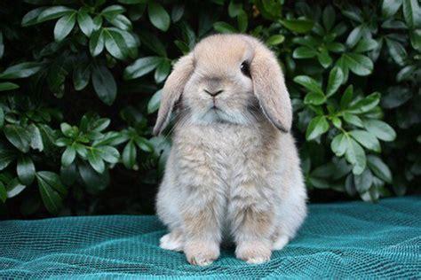 of the best pet rabbit breeds pethelpful