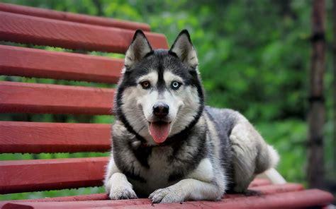 dog animals heterochromia wallpapers hd desktop