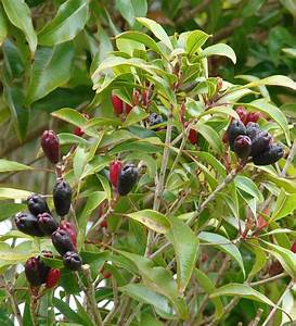 Clove Cultivation Information Detailed Guide | Agri Farming