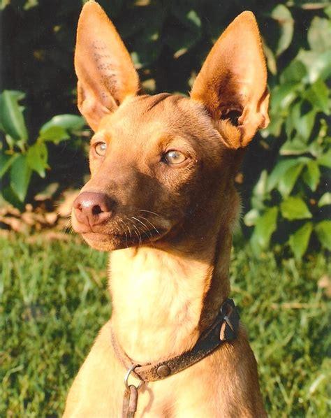 podenco andaluz andalusian hound andalusischer hund perros dogs mascotarios hunderassen