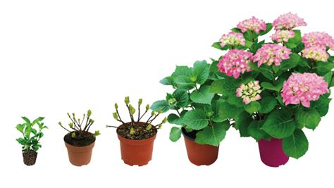 planter un hortensia en pot plantation hortensia en pot 28 images comment planter un hortensia en pot hydrangea en pot