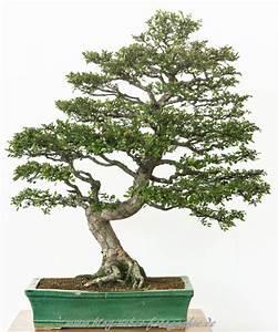 Bonsai Chinesische Ulme : chinesische ulme als bonsai baum ~ Sanjose-hotels-ca.com Haus und Dekorationen