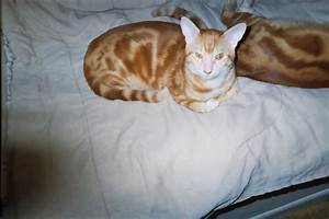 Orange Marbled Bengal? | The Cat Site
