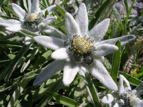 la stella alpina fiore stella alpina su a me stesso