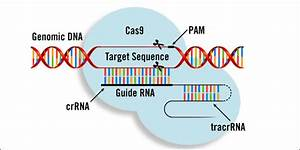Gene Editing - What Is Crispr-cas9