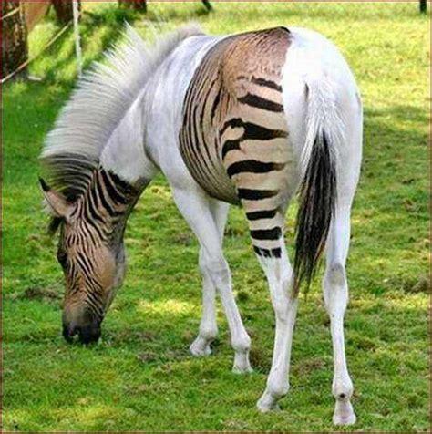 zebra animals hybrid zebroid horse related piebald horses weird hybrids cross half rare bred equine nairaland zorse really albino hebra