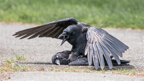crow funerals  strange wait