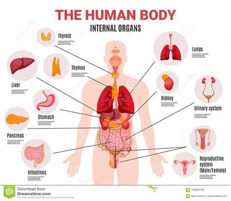 Corpo Umani Organi Interni Manifesto Umano Di Infographic Degli Organi Interni