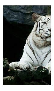 1600x900 Big White Tiger Hd 1600x900 Resolution HD 4k ...