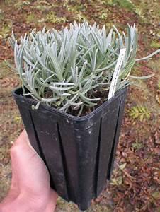 Quand Planter Lavande Dans Jardin : conseils pour la plantation des lavandes en terre ~ Dode.kayakingforconservation.com Idées de Décoration