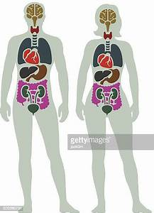 Human Internal Organ Stock Illustrations And Cartoons