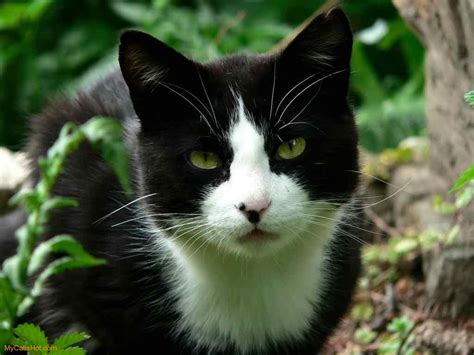 black and white cat black and white cats with green eyes pictures to pin on pinterest pinsdaddy