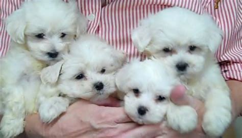 Do Shorkie Poos Shed by White Shorkie Puppies Www Pixshark Images