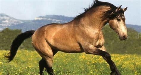 Buckskin Horse Colors