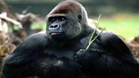 Silverback Gorilla Beating Chest