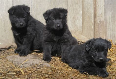akc golden retriever german shepherd puppies