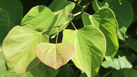 cercis canadensis leaf cercis canadensis treeebb online tree finding tool ebben nurseries