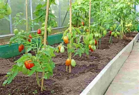 how to grow tomato at home growing tomatoes grow and care for tomato plants farms com
