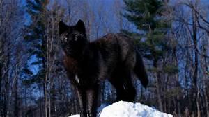 Black Wolf HD desktop wallpaper : Widescreen : High ...