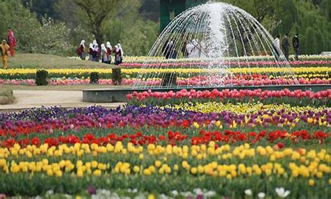 see asia s largest tulip thousands visit asia s largest tulip garden in srinagar