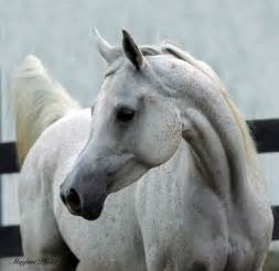 Arabian Horses Breed characteristics | shadyarabianhorses