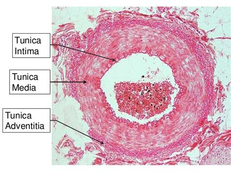 Blood vessels are an integral component of the circulatory system. Histology of blood vessels