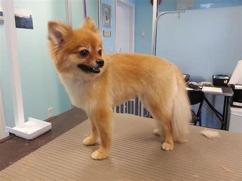 category pomeranian kelowna dog grooming services ace