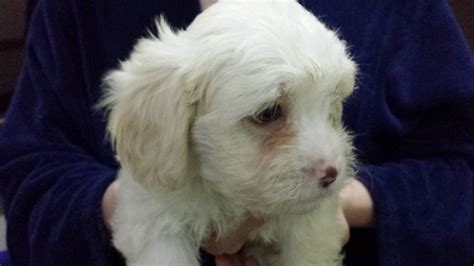 Lhasa Apso Poodle Shedding by Lhasa Apso Poodle Puppies Breeds Picture