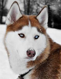 17 Best images about Shelties and Huskies on Pinterest ...