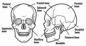Bones Of The Skull Explained