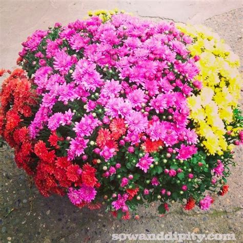 how to take care of mums in fall how to care for fall mums fall looks fall mums and outdoors