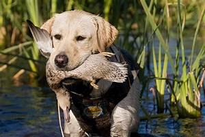 Labrador Retriever Duck Hunting | www.pixshark.com ...