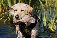 Golden Labrador Retriever Dog