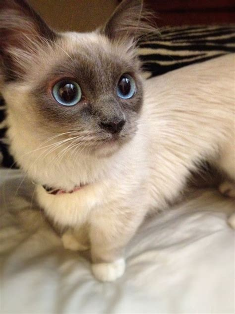 Munchkin Cat On Tumblr
