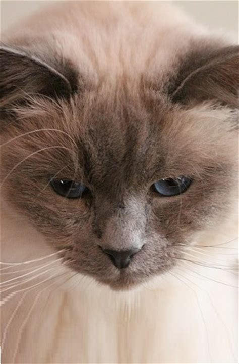 birman cat cat breeds encyclopedia