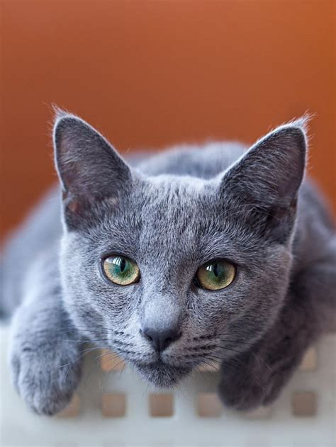 Blue Cats - 17 best images about russian blue cats on gray