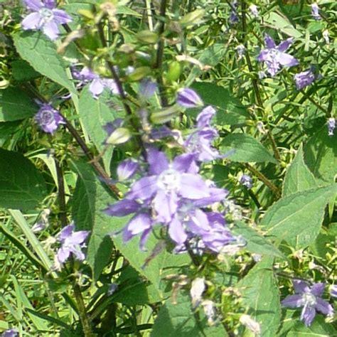 bellflower plant tall bellflower canula americana plants