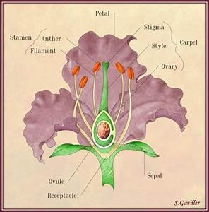 Iris Parts Of A Flower