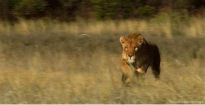 Animals African Lion Running Lions Animal Gifs