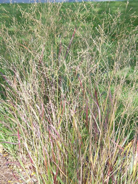 All The Dirt On Gardening Grasses Add Beauty To Gardens
