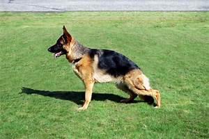 german shepherd dog breeders puppies for sale in illinois With german shepherd dog house for sale