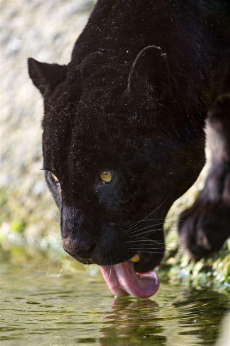 black panther images  pinterest big cats
