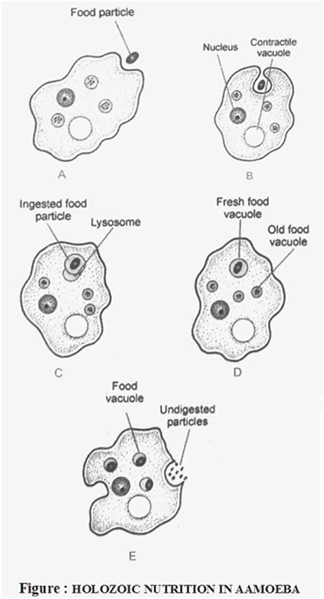 nutrition  amoeba biology