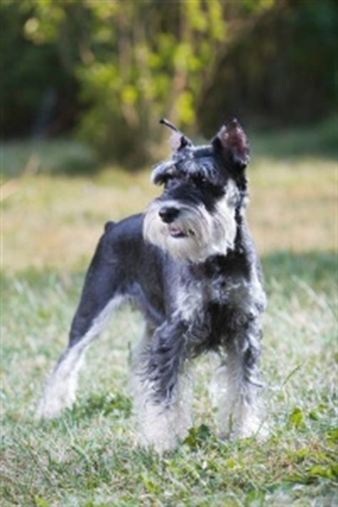 Do Schnauzer Dogs Shed Hair by Miniature Schnauzer Grooming Best Grooming Tips