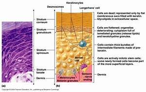 Anatomy Gross Anatomy Physiology Cells Cytology Cell