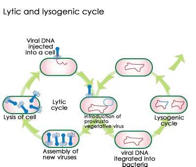 lytic and lysogenic cycle worksheet worksheets for all