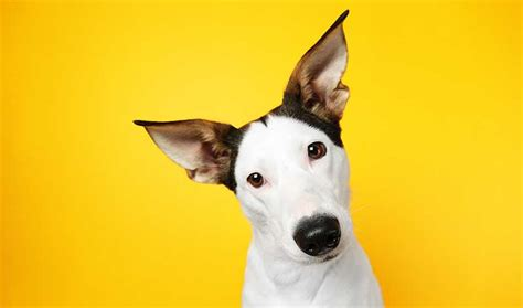 spanish dog breeds ratonero spain terrier dogs bred therefore they