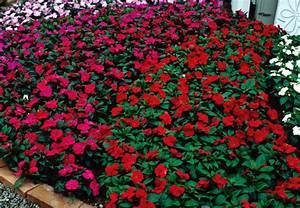 Blumen Für Schatten : obi balkon und beetberater infos zu balkonblumen ~ Lizthompson.info Haus und Dekorationen