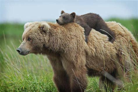 Восемь видов медведей